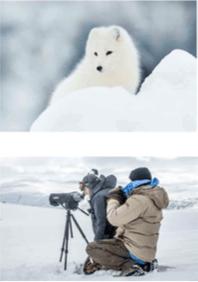 Save the Arctic Fox