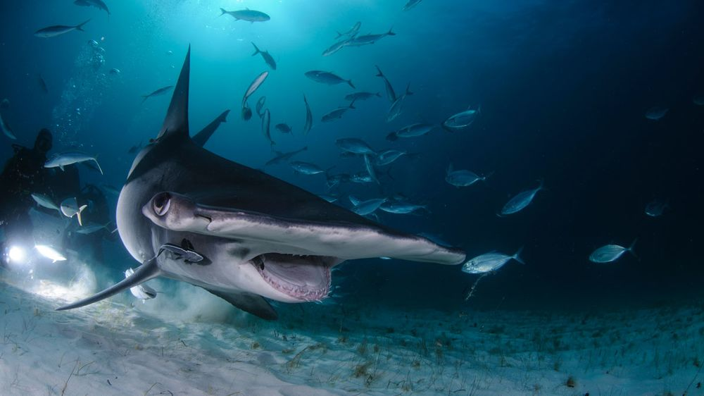 Hammerhead Shark in Bahamas