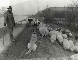 Dutch shepherd with Malinois and flock 1984