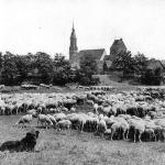 Shepherd-with-Groenendal-and-flock