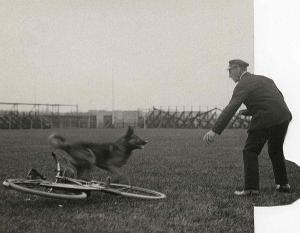Голландия, 1923 г. Испытания по программе KNPV (Королевское Голландского общество полицейских собак)