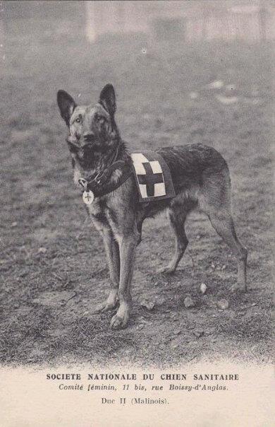 Одна из первых собак-санитаров (Duc II, малинуа)