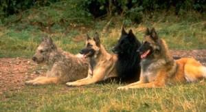 Четыре разновидности бельгийской овчарки