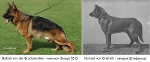 Ballack von der Brucknerallee / Horrand (немецкая овчарка фон Штефаница)