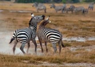 Perché le zebre hanno le strisce