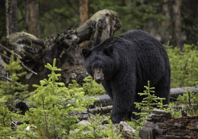 cosa fare se incontri un orso