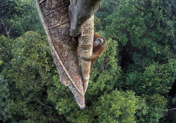 95-1_© Tim Laman (USA)_Vite intrecciate