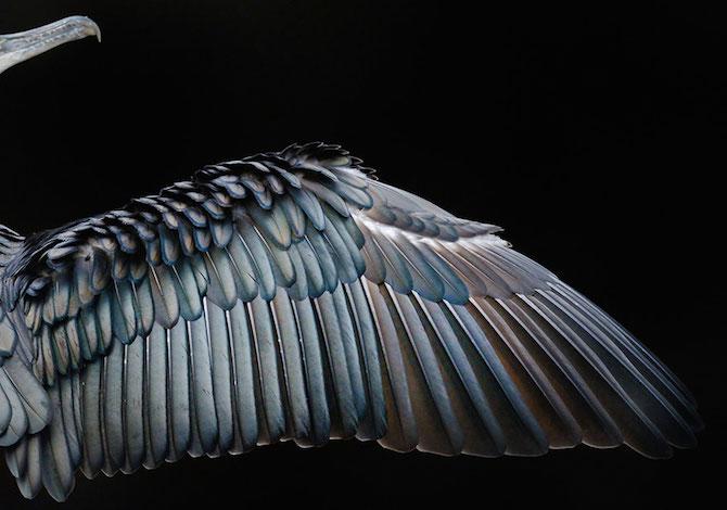 bird-photographer-of-the-year-cormorano-tom-hines
