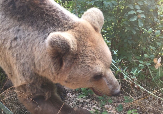 parco-abruzzo-orso