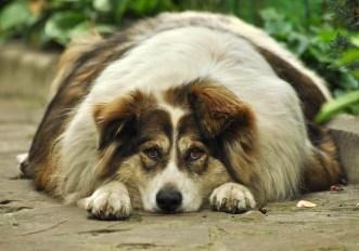cane-gatto-grasso-obesita