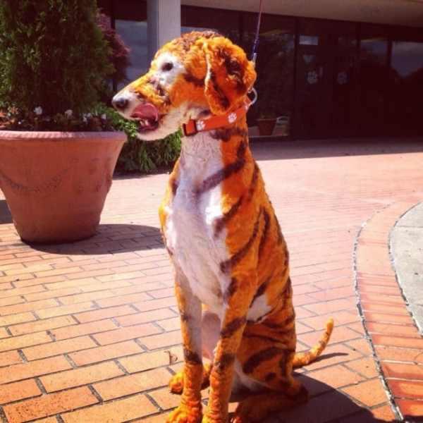 tigger-clemson-tigers-dog