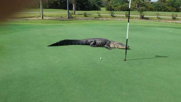 alligator-florida-golf-course-2