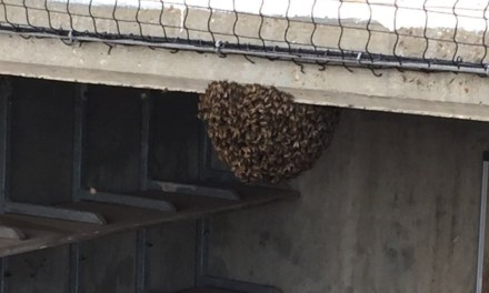 Minor League Baseball Game Delayed by a Bee Hive in the Dugout