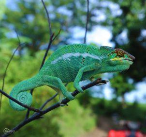 Un coloratissimo camaleonte