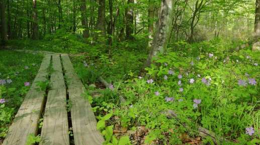 SwiftWetland_woodenwalkway_DS
