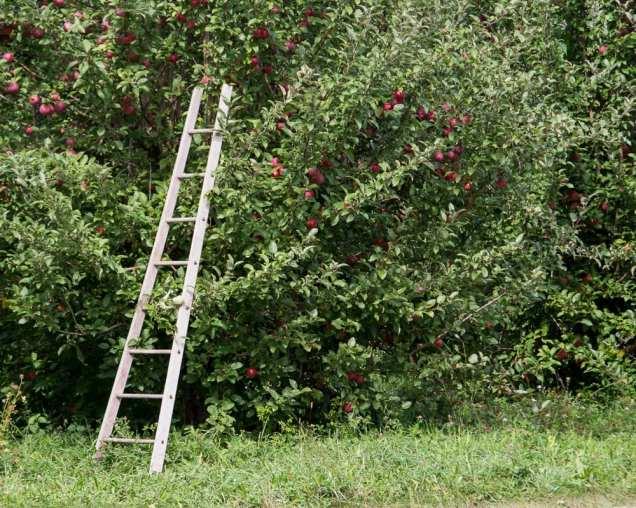 apples web-5174