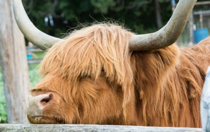 Rosie, Indian Ladder's Scottish Highland cow, has died
