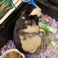 Hazel is a 9-month-old female guinea pig