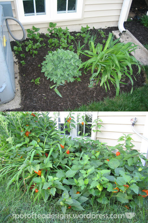chinese lanterns in the garden. top pic spring bottom pic late summer