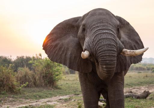 Un éléphant qui nous regarde, de face, au coucher du soleil...