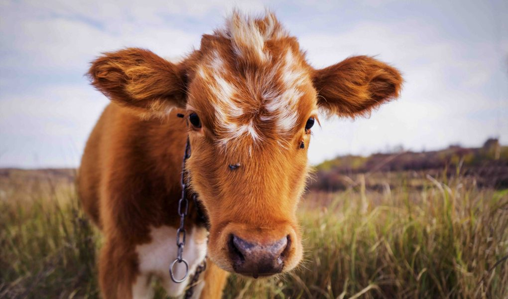Vache rousse qui fait face à l'écran, dans un champ.