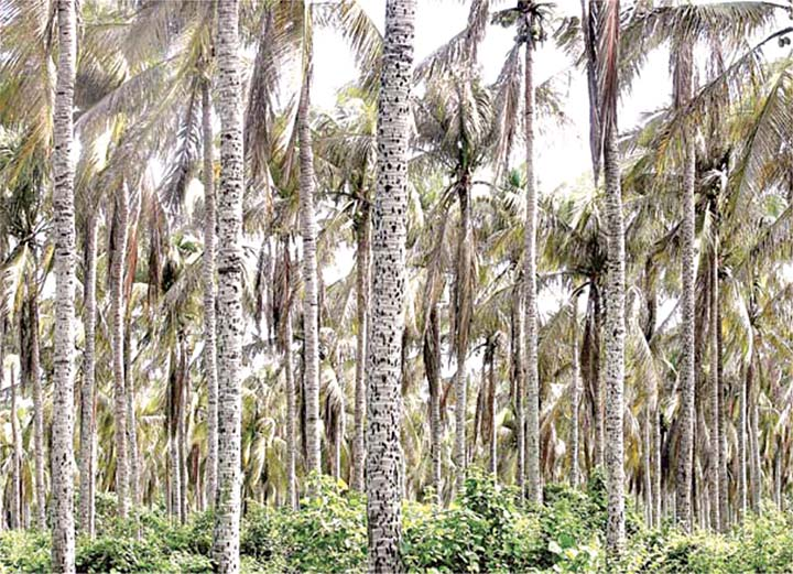 Coconut pest in the Philippines now under control