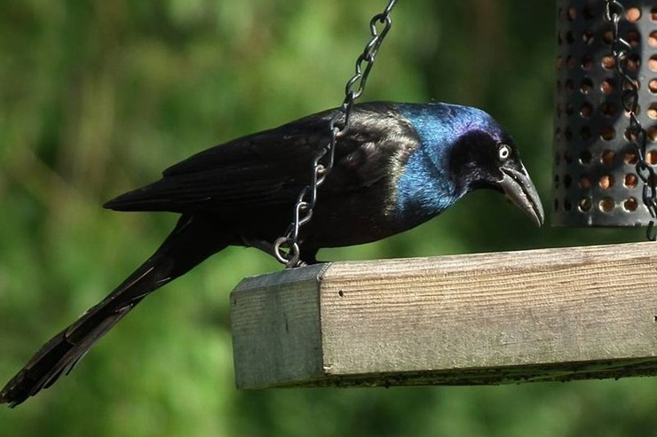 Boston Bird Mystery Leads To Official Investigation
