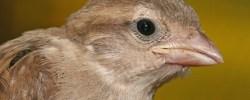 Lieber den Spatz in der Hand als die Taube auf dem Dach - © Muhammad Mahdi Karim, Wikipedia