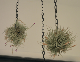 Airplants on chains