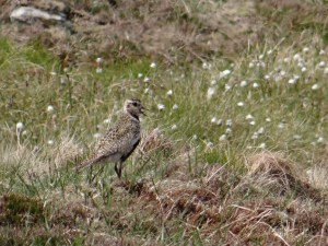 Hard to spot Golden Plover