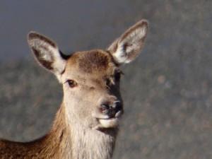 red deer on hillside