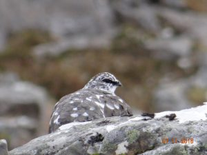Well camouflaged ptarmigan