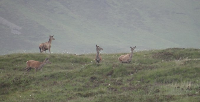 Red deer hinds on the hill