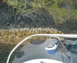 Gathering of Guillemots