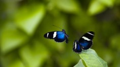 Butterflies-Flying-Butterfly-Pictures