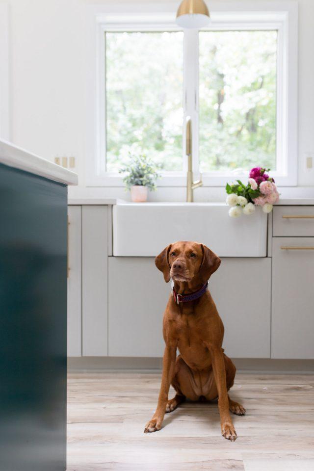Vizsla in kitchen remodel