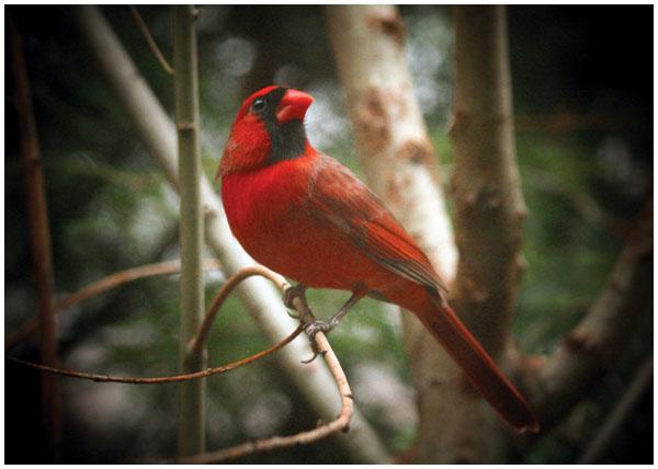 Cardinal - by Richard Johnson - Spruce Mountain Photography