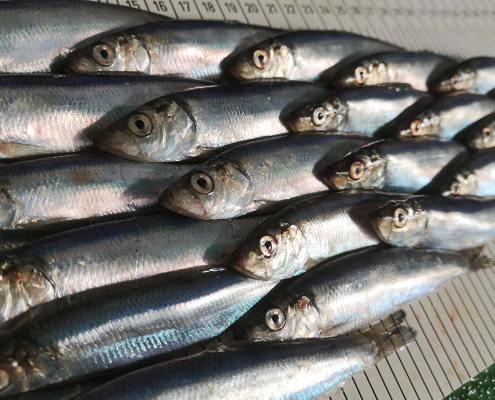 Scottish herring fishermen pioneer new science work