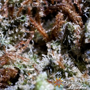 Orange Cookies - Cannabis Macro Photography by Spurs Broken (Robert R. Sanders)