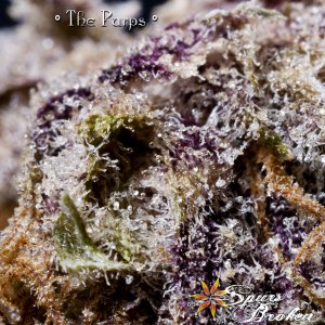 The Purps - Cannabis Macro Photography by Spurs Broken (Robert R. Sanders