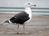 Great Black-Backed Gull photo © Stephen Moore