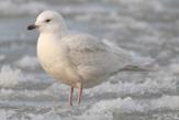 Iceland Gull photo © Wikipedia/Wikicommons