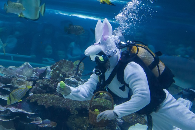 A scuba diver dressed as a bunny searches for Easter eggs hidden in a shark pool in Tropicarium in Budapest, Hungary on April 5, 2015.  (Xinhua/Attila Volgyi)