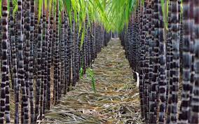 Farmers' Guide With Joseph Mugenyi: Tips On How To Grow Sugarcane