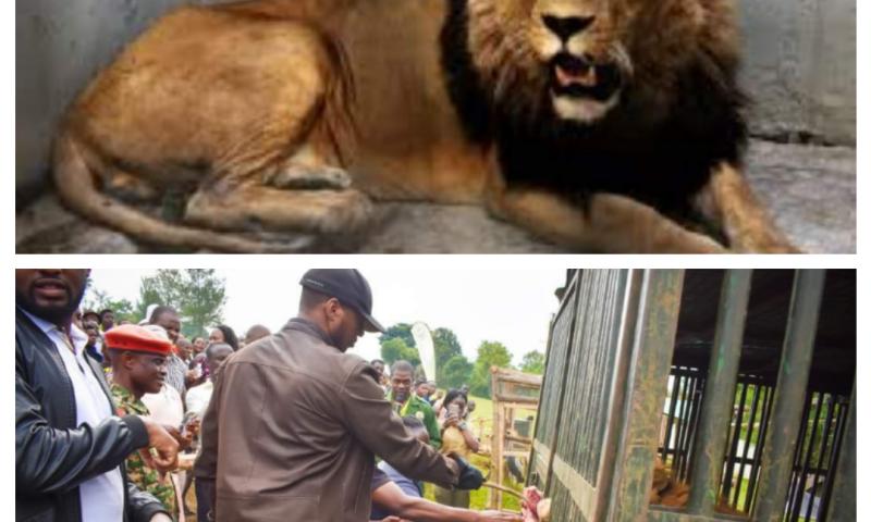 Uganda's Oldest Lion Escapes At Omukama Oyo's Empango, Executed By UWEC Rangers