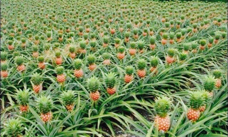 Farmers' Guide With Joseph Mugenyi: Tips On Pineapple Growing