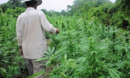 Gov't Sets  Tough Conditions For Cannabis Farmers