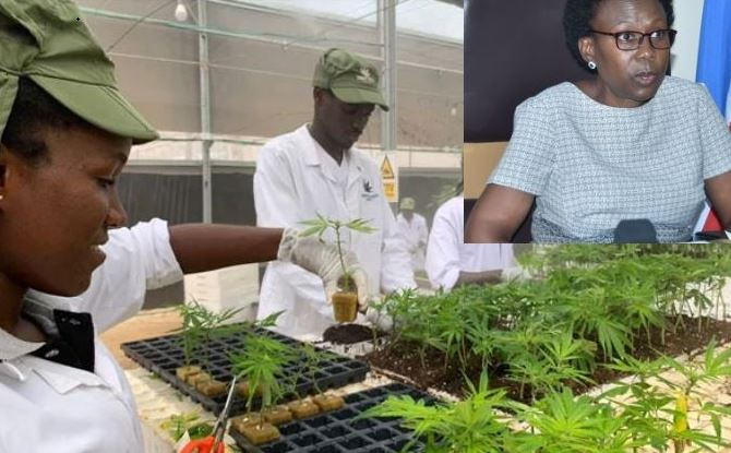 Health Minister Dr Aceng Mints Billions From Growing Weed