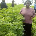 COVID-19: Ugandans Ask Gov't To Urgently Legalize Cannabis