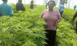 Here Is How Cannabis Growing Can Transform Uganda Into Middle Income State, Create 6208 Jobs In One Year